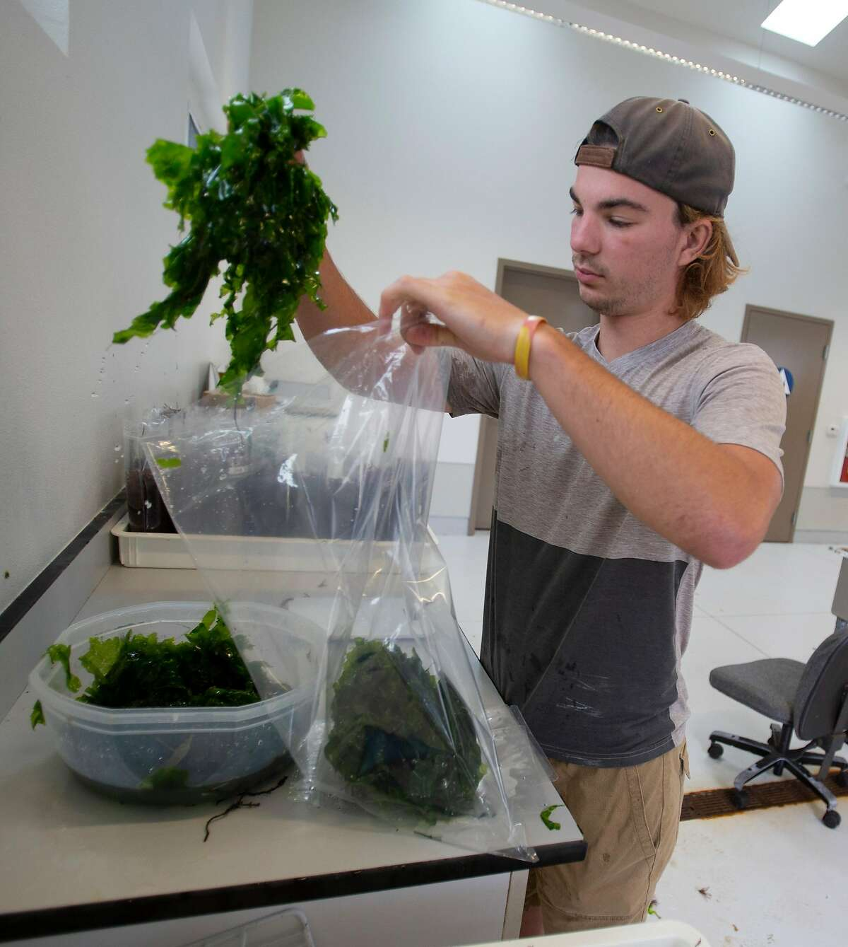 Employee Matthew Elliott packages Green sea lettuce on Thursday, 8/23, 2018 in Moss Landing, California at Monterey Bay Seaweeds where Michael Graham farms various types of the plant to sell to upscale restaurants in Monterey and the San Francisco Bay Area.