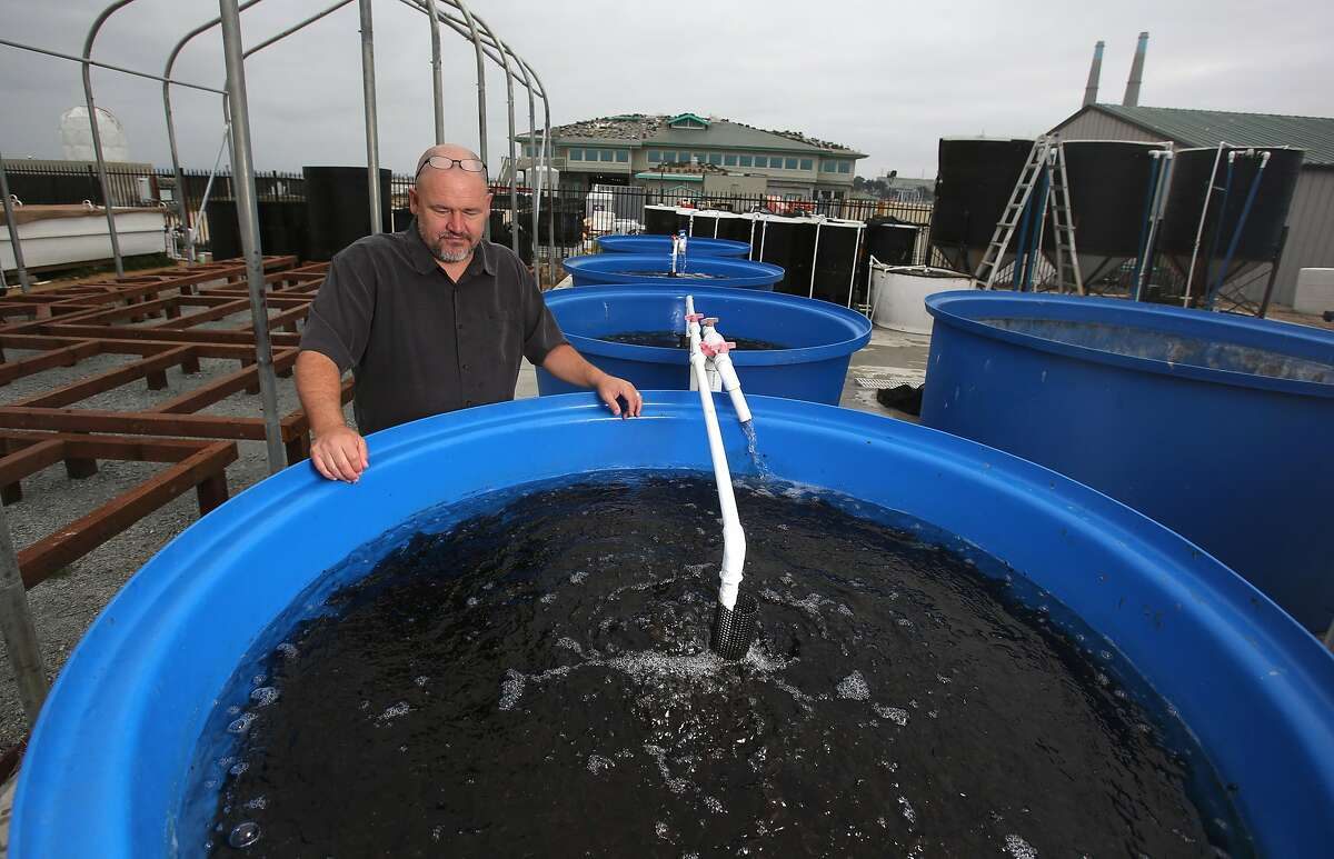 Michael Graham checks the tanks on Thursday, 8/23, 2018 in Moss Landing, California at his Monterey Bay Seaweeds where he farms various types of the plant to sell to upscale restaurants in Monterey and the San Francisco Bay Area.