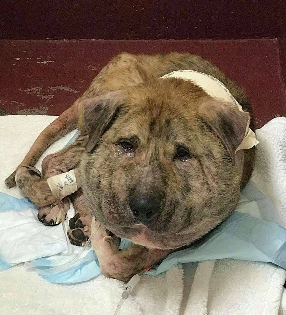 WARNING GRAPHIC PHOTOS: Houston dog suffering from neck wound saved by rescue group An abandoned dog named Gus is currently being cared for by veterinarians after he was found roaming a Houston street with a shoestring embedded around his neck and suffering from what appeared to be a severe infection on his neck. The Houston K911 Rescue group later took him to an emergency vet clinic. >>>See more photos of Gus as shared by an animal rescue group this week...