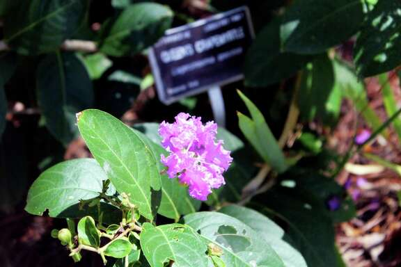 One of the plants that can be found in the Tropical Garden is the Queen's Crapemyrtle that can be found in tropical areas of Asia.