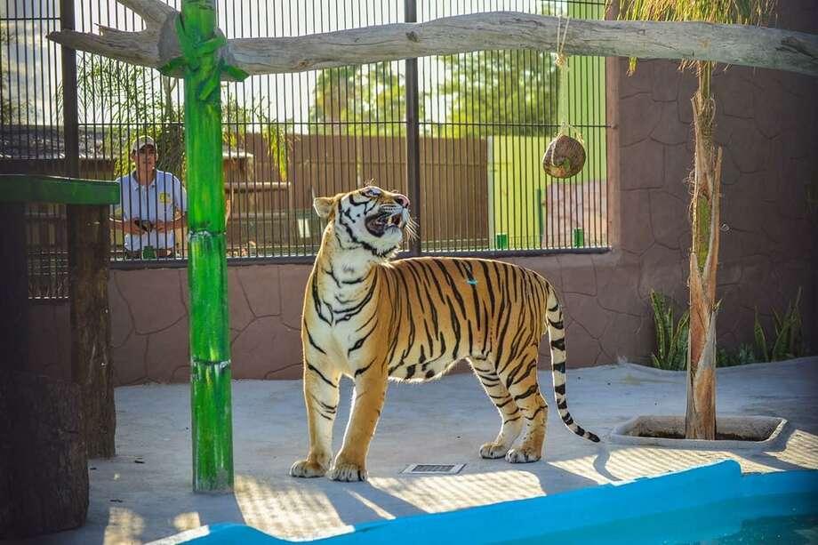 El espacio para los tigres de bengala cuenta con una mesa de descanso, tronco natural, rocas y un estanque de agua. Photo: Foto De Cortesía /Gobierno De Nuevo Laredo