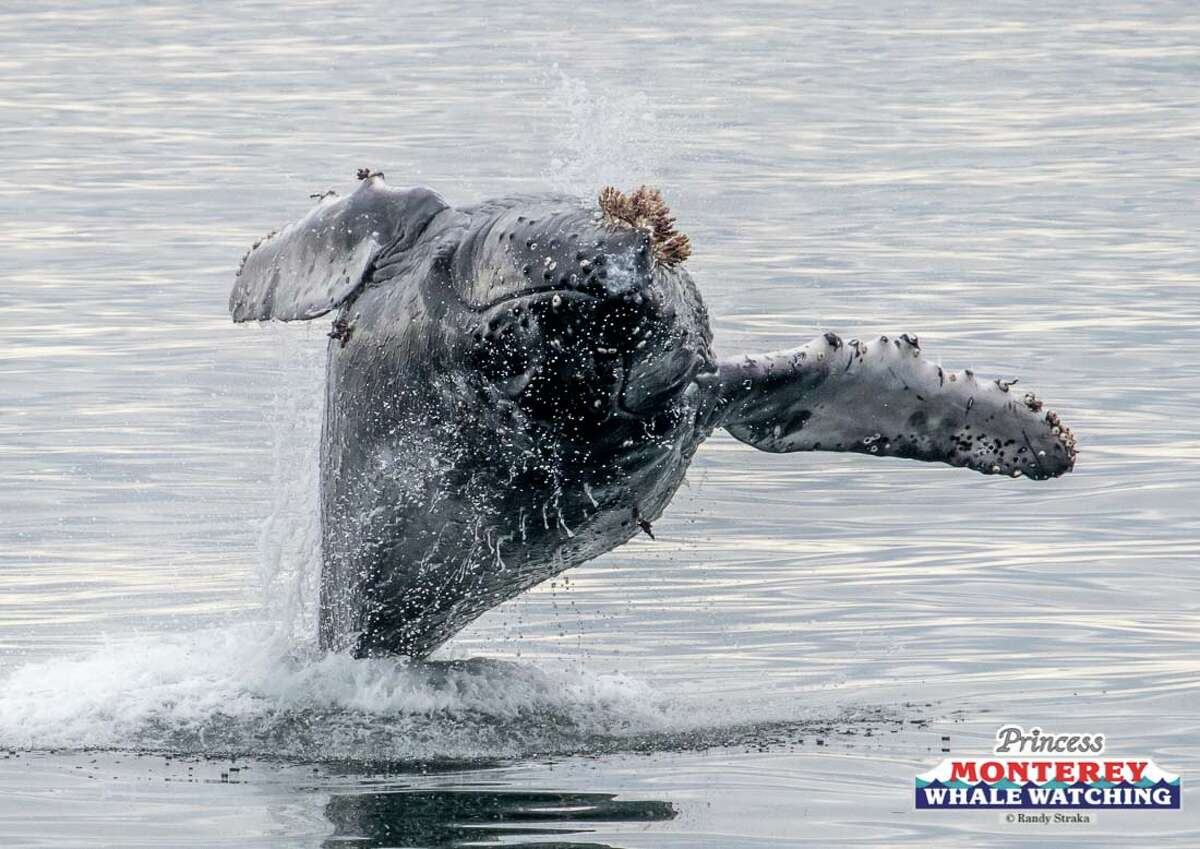 A humpback whale and its calf breaching in front of whale watching tour boats in Monterey Bay.