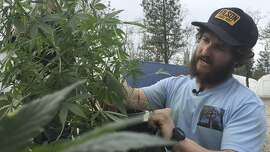 FILE - In this April 5, 2017 file photo, is Matthew Miller of Millerville Farms looking over a marijuana plant in Cave Junction, Ore. Oregon will require cultivators growing outdoor marijuana for general use to notify the state when they plan to harvest. The rule that takes effect Saturday, Sept. 1, 2018, is intended to prevent marijuana from being diverted out-of-state to the black market after pressure from federal officials. (AP Photo/Gillian Flaccus, File)