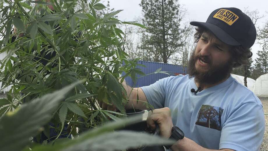 Matthew Miller of Millerville Farms examines a marijuana plant last year in the southern Oregon town of Cave Junction. Photo: Gillian Flaccus / Associated Press 2017