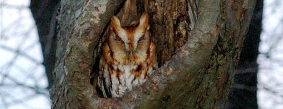Eastern screech owl, red phase Photo: / Conn. DEEP