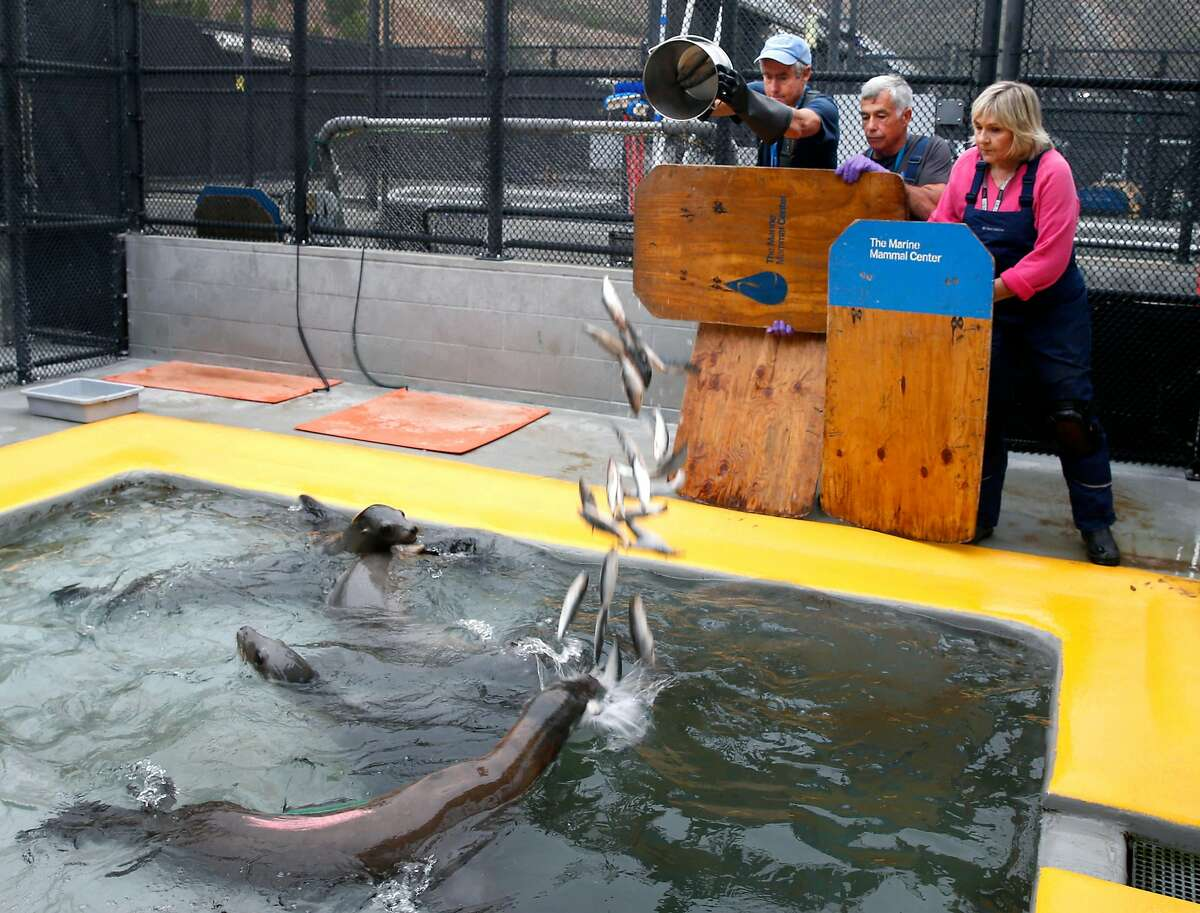 Tony Hoff, Fred Grumm and Tamyra Thomas feed a bucketful of frozen herring to sea lions at the Marine Mammal Center in Sausalito, Calif. on Friday, Aug. 24, 2018. Many social media users are encouraging their followers to donate to organizations when their birthday notifications appear and money donated to the MMC funds the fish to feed to the marine mammal patients.