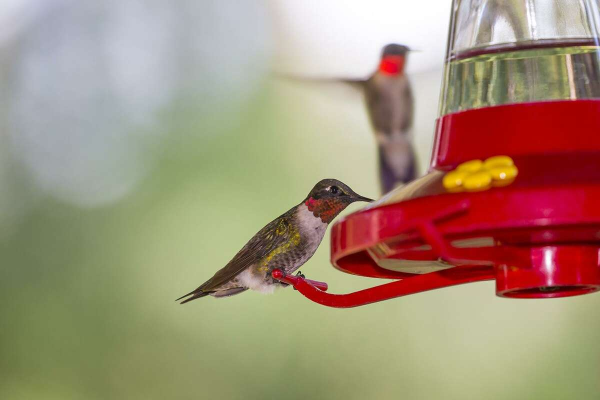 Ruby-throated hummingbirds are fattening-up at area sugar water feeders on their way to winter homes in Latin America.