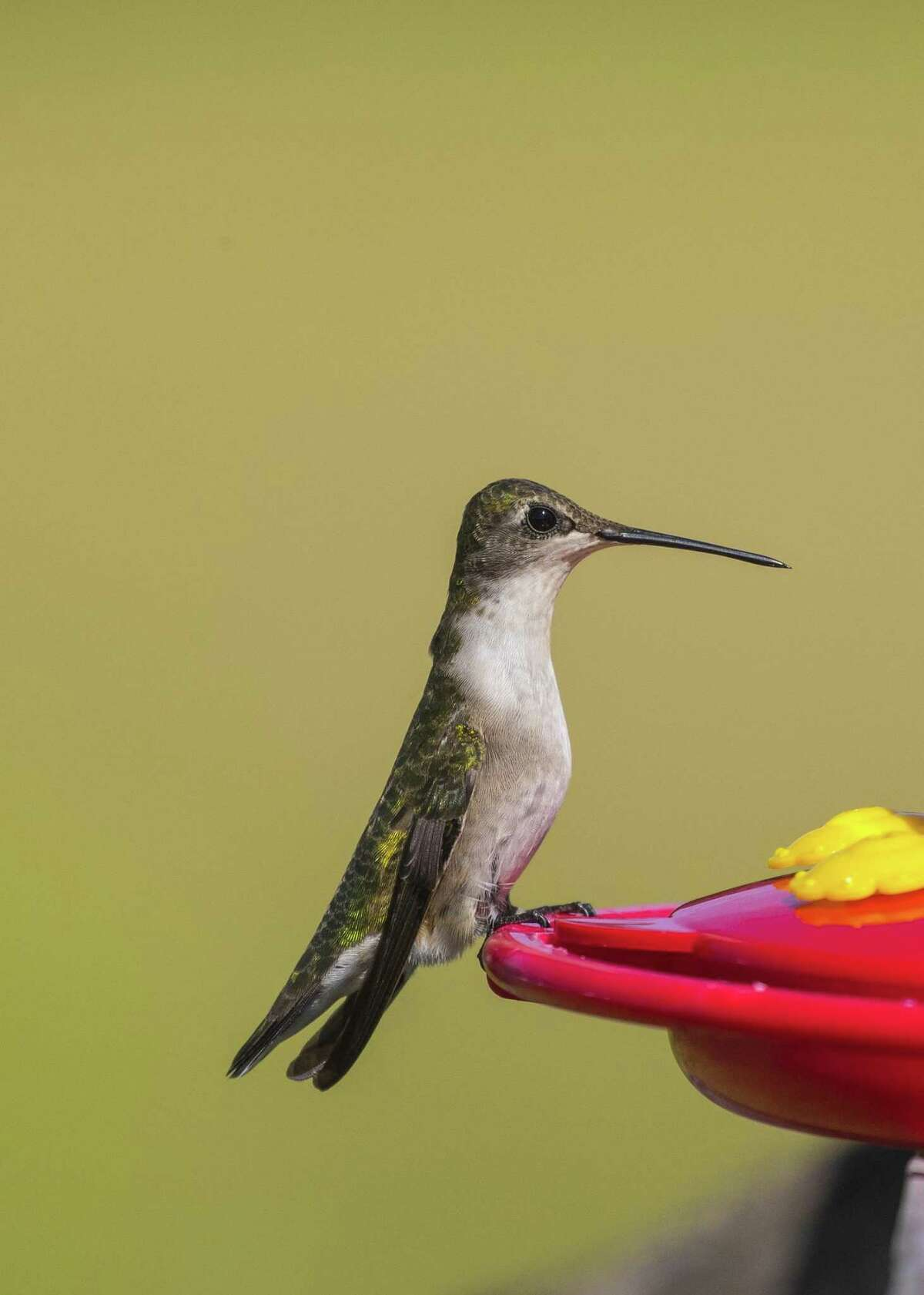 Ruby-throated hummingbirds are fattening-up at area sugar water feeders on their way to winter homes in Latin America. Photo Credit: Kathy Adams Clark Restricted use.