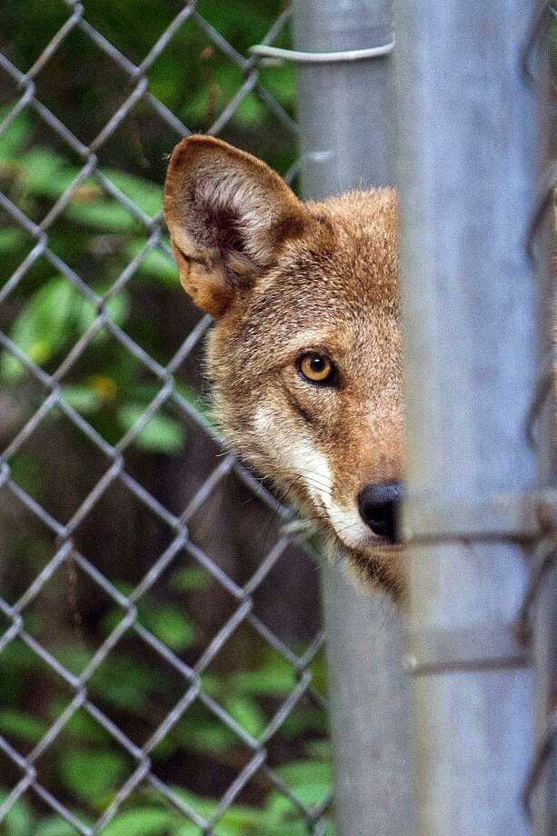 Peanut, a red wolf, joined the Beardsley Zoo in mid-July. Photo: Contributed Photo / Beardsley Zoo / Contributed Photo / Connecticut Post Contributed