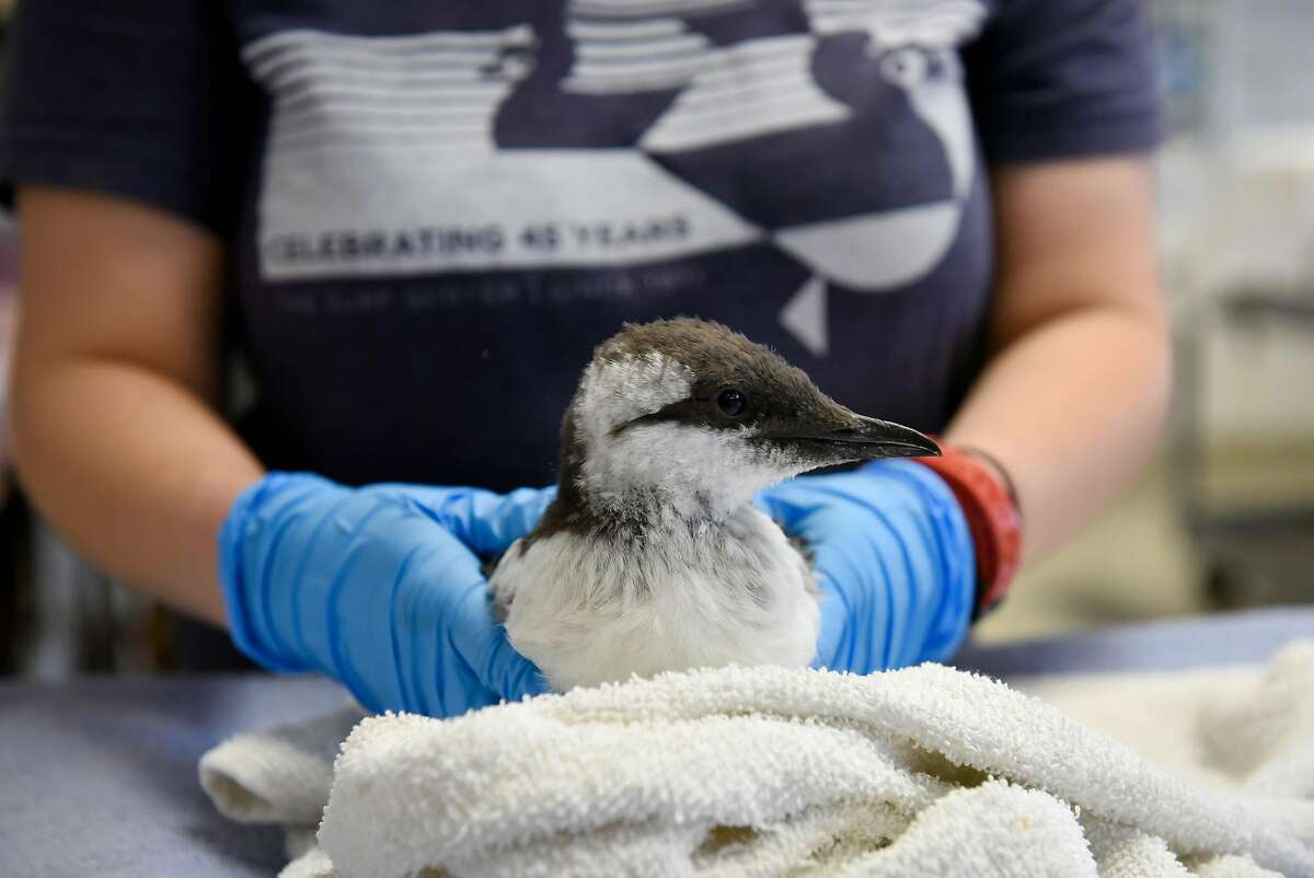 Rehabilitation technician Kelly Beffa examines a rescued Common Murre chick during a checkup at the International Bird Rescue in Fairfield, Calif., on Thursday, August 27th, 2018.