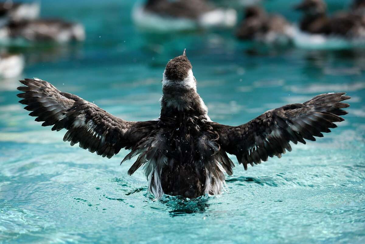 A rescued Common Murre chick stretches it's wings while swimming in a tank at the International Bird Rescue in Fairfield, Calif., on Thursday, August 27th, 2018.