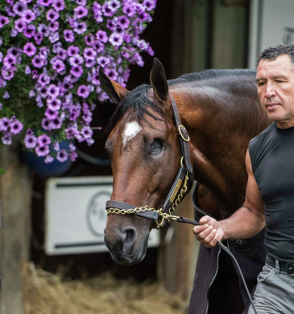 Fan favorite Patch will run in Saturday's Woodward Stakes cools out after morning exercise in the barn area of trainer Todd Pletcher on the Oklahoma Training Center after his morning exercise Friday Aug. 31, 2018 in Saratoga Springs, N.Y. (Skip Dickstein/Times Union)