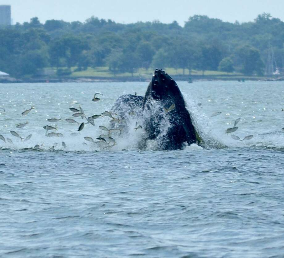 Although there have been no confirmed sightings of Humpback whales this summer, they have been spotted in Long Island Sound in past years. Photo: File Photo / Greenwich Time Contributed
