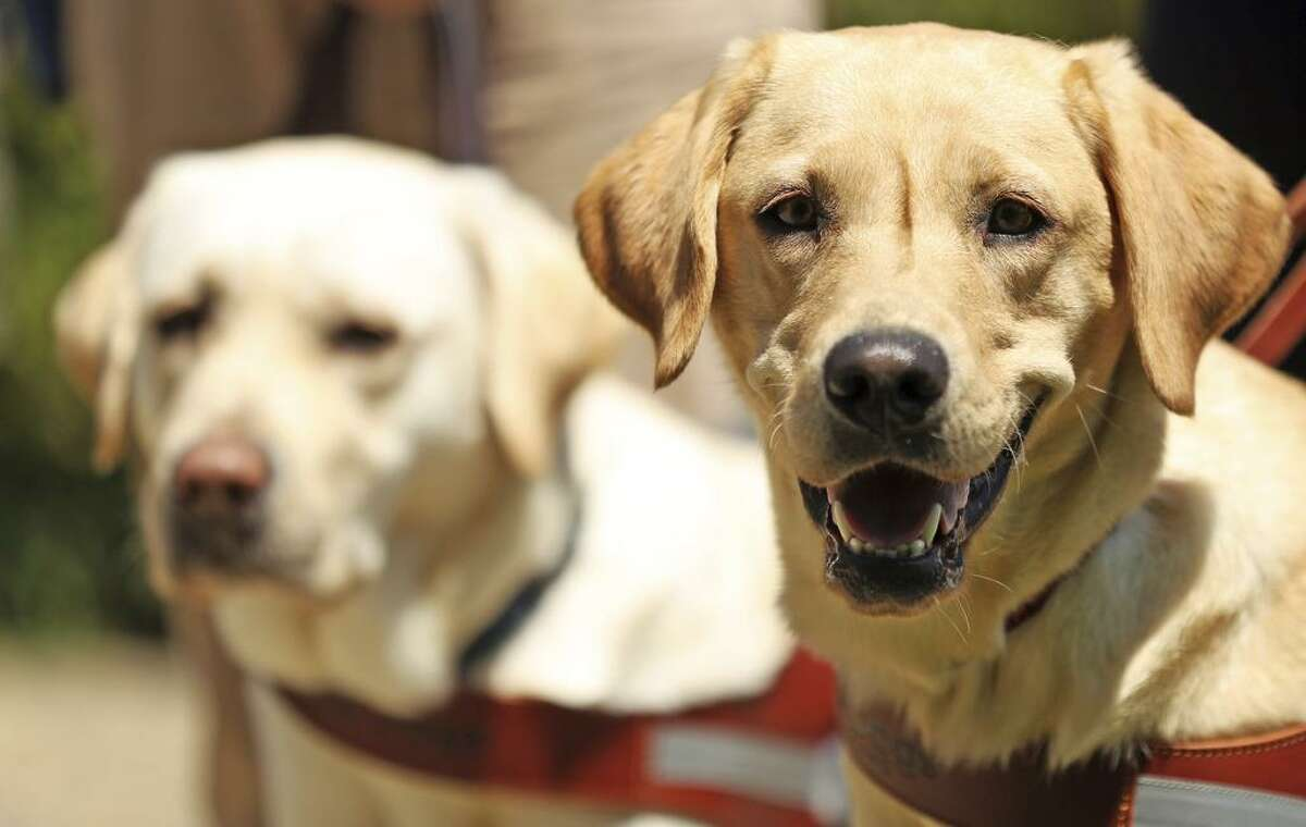 Guide dogs Moon (left) and Julia in San Rafael, where Guide Dogs for the Blind has its headquarters. A documentary explores the dogs' training.