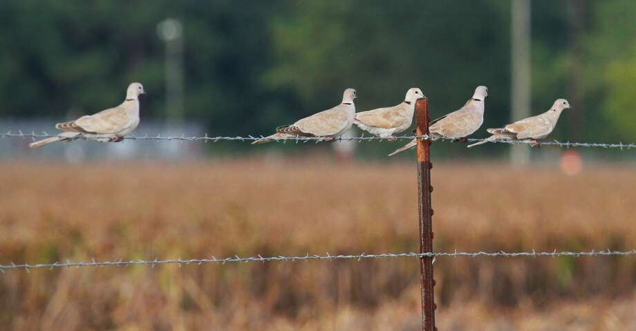 Non-native Eurasian collared doves began colonizing Texas in the 1990s. Today, as many as 5 million of these natives of the Indian subcontinent live in the state where wingshooters now annually take well over a half-million of the big, unprotected - and tasty - invasive species. Photo: Shannon Tompkins/Houston Chronicle