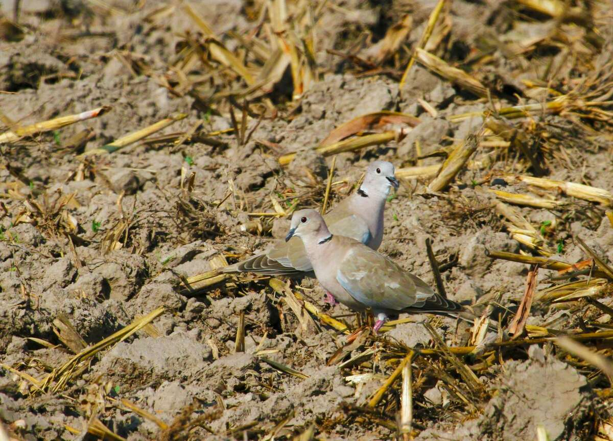 A pair of Eurasian collared doves foraging in a harvested milo field in Liberty County are part of the as many as 5 million of the invasive species found in Texas and increasingly being encountered by Texas dove hunters who generally welcome these
