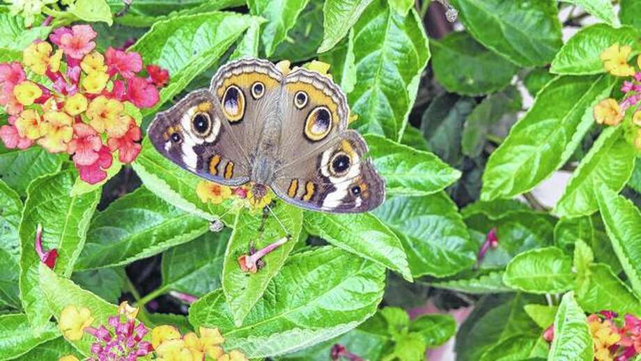 A buckeye butterfly blends in with the flowers in Morgan County.
