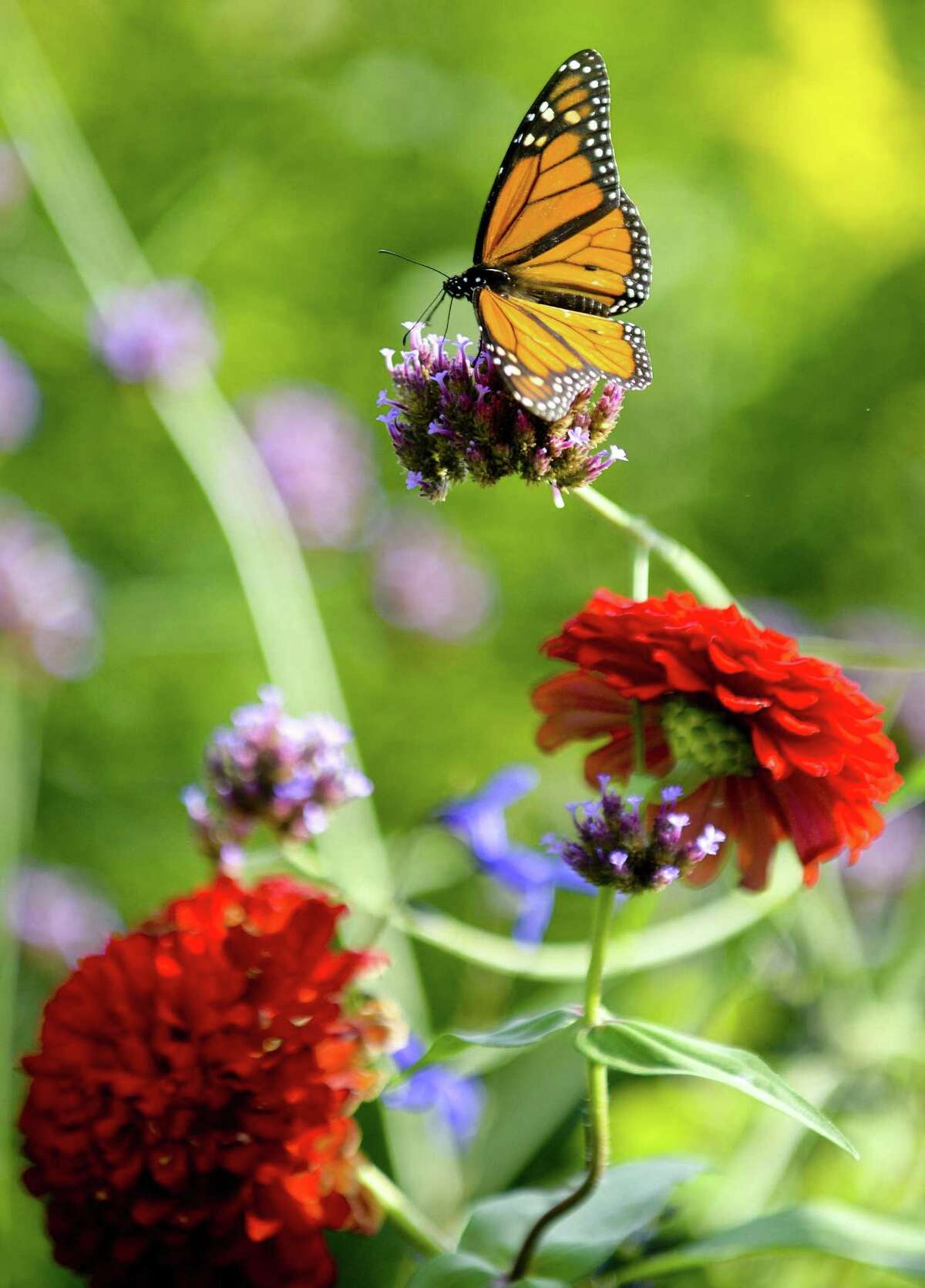 A Monarch Butterfly spreads its wings while perching on a flower at the Cove Island Wildlife Sanctuary Butterfly Garden on Sept. 1, 2018 in Stamford, Connecticut.