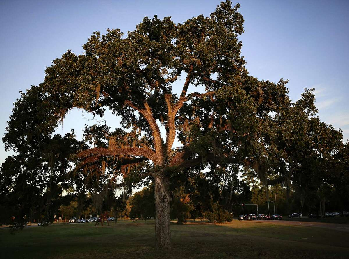A stressed post oak tree at Memorial Park in Houston.