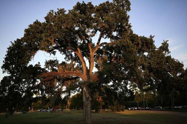 cab54656d2e6 Zombie trees invade Houston landscapes - HoustonChronicle.com