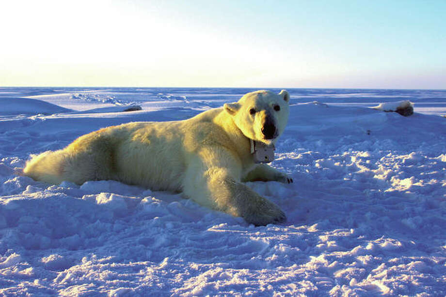 In this April 15, 2015, file photo, provided by the United States Geological Survey, a polar bear wearing a GPS video-camera collar lies on a chunk of sea ice in the Beaufort Sea. A tiny Alaska Native village has experienced a boom in tourism in recent years as polar bears spend more time on land than on diminishing Arctic sea ice. Alaska's Energy Desk reports more than 2,000 people visited the northern Alaska village of Kaktovik on the Beaufort Sea in 2017 to see polar bears in the wild. Jennifer Reed of the Arctic National Wildlife Refuge says the village had less than 50 visitors annually before 2011.