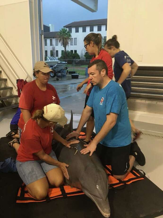 PHOTOS: Houston-area dolphin rescuesThis older male dolphin was rescued this week on the beach near the Galveston Seawall, but had to be euthanized Sept. 3 due to chronic illness.>>>Meet Rimmy, another dolphin living at the Galveston facility for almost 1 year... Photo: Texas Marine Mammal Stranding Network
