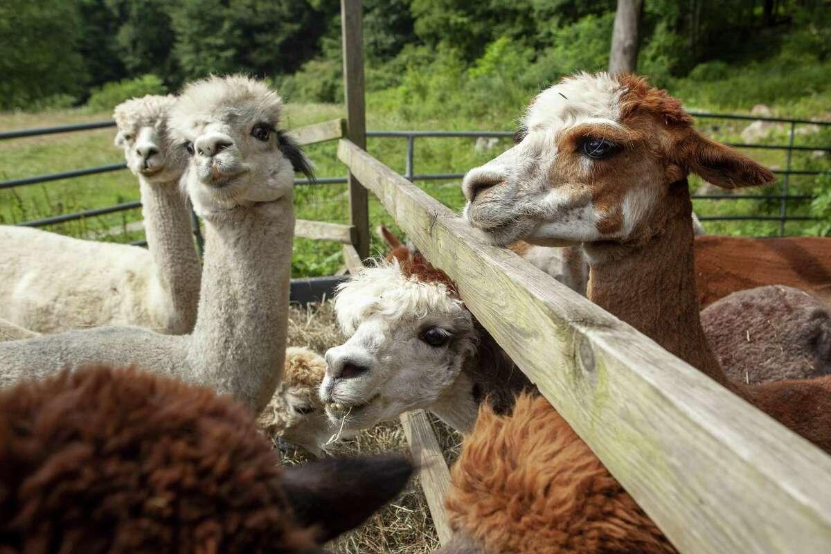 Bella Alpacas Farm/Sanctuary, New Milford Spend the night at an alpaca farm