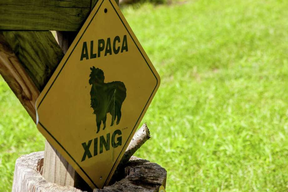 >> Click through to see where you can find llamas and alpacas in CT