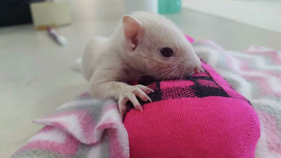 PHOTOS: White baby squirrel rescued in HoustonThe Texas Wildlife Rehabilitation Center recently admitted a white squirrel. Since the animal has dark eyes it is most likely leucistic, not albino. >>>It's even cuter asleep... Photo: Courtesy Photo