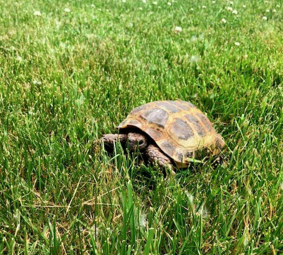 Alyssa and Asa Croasman are searching for their pet tortoise, Waffles. (Photo provided)