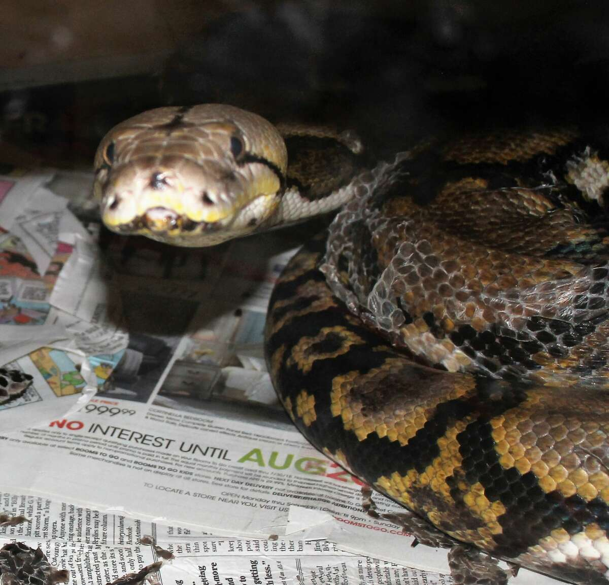 Animal Care Services seized 136 snakes and more than 400 rodents from a South Side home on Wednesday, Sept. 5, 2018. Nearly all of the rats and mice were picked upby Central Texas Rat Rescue, Dallas/Ft Worth Rat Rescue and Our Little Rat Rescue of Oklahoma to be taken to new homes, where they will be welcomed as pets.