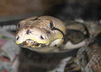 528f60e1c ACS releases photos of snakes picked up in biggest animal seizure in city's  history - San Antonio Express-News
