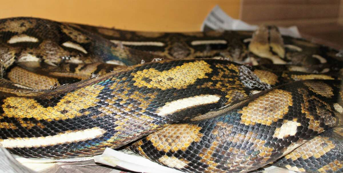 Animal Care Services seized 136 snakes and more than 400 mice from a South Side home on Wednesday, Sept. 5, 2018. A hearing has been set to determine who will have custody of the snakes.