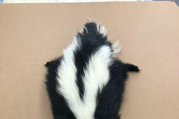 A living skunk was found in a shipment of tiles on the island of Maui on Aug. 30, 2018.