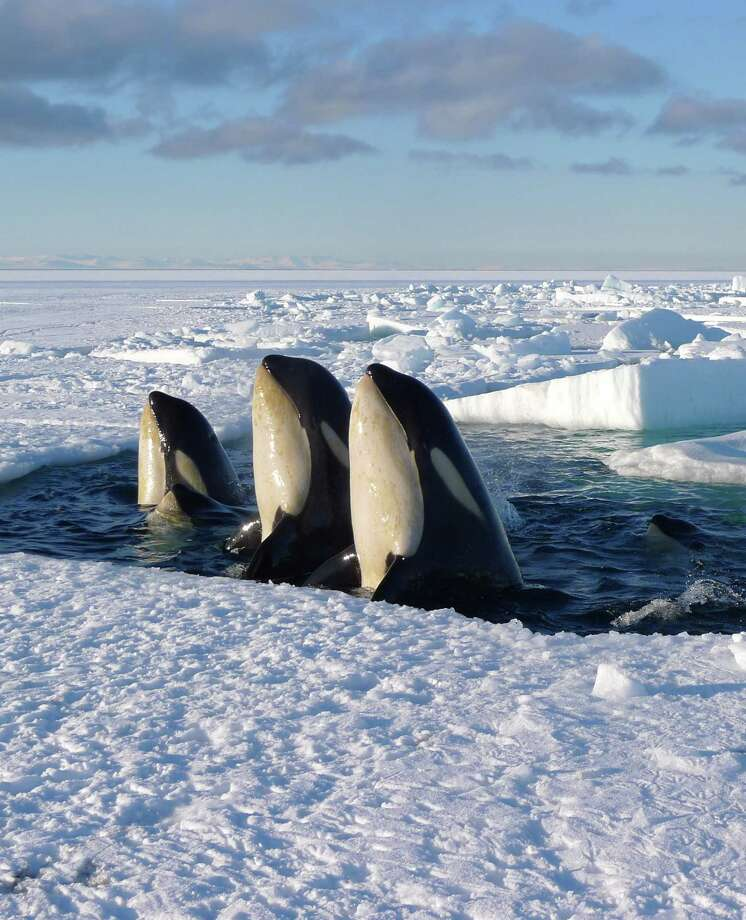 """In this image released by Discovery Channel, Orca whales are shown in a scene from Discovery Channel's documentary series """"Frozen Planet,"""" from 2012. Climate change is wreaking havoc with the orca. Photo: Chadden Hunter /Associated Press / Discovery Channel"""