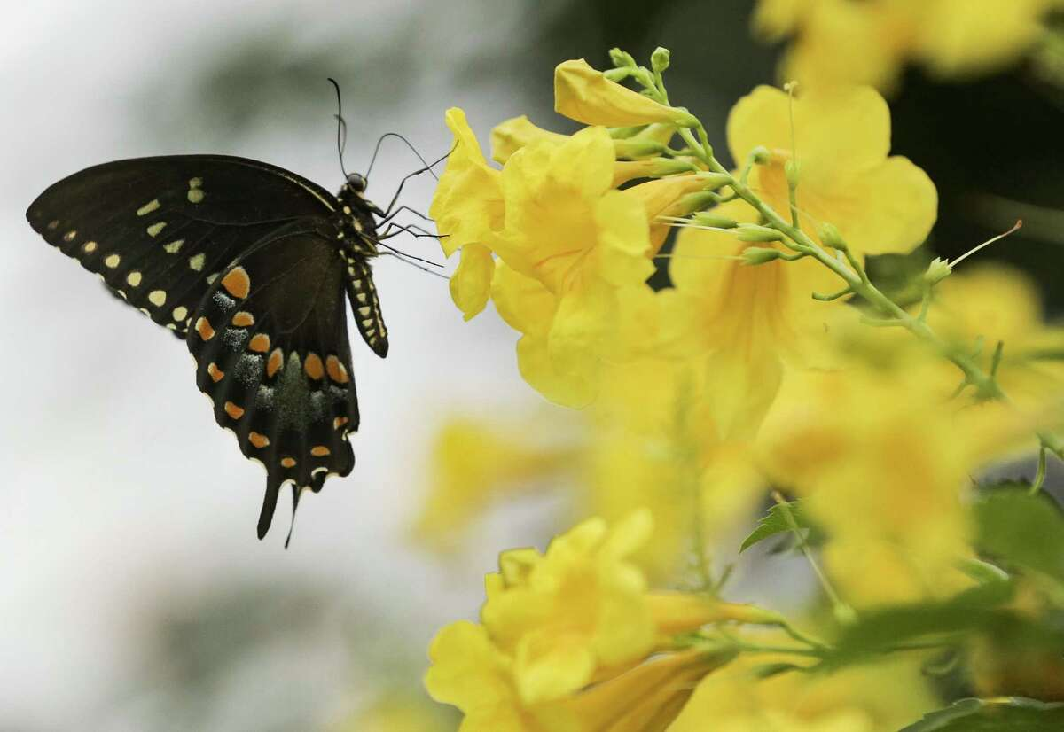 Butterflies are attracted to Lauren Simpson's Oak Forest yard filled with native plants.
