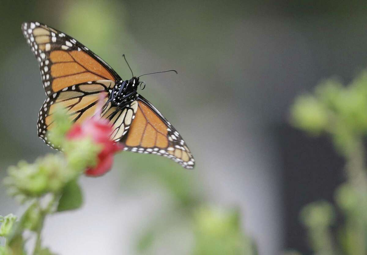 A monarch butterfly stops to rest atop a Turk's cap.