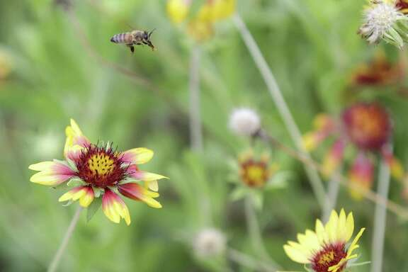 Honey bees buzz Indian blankets.