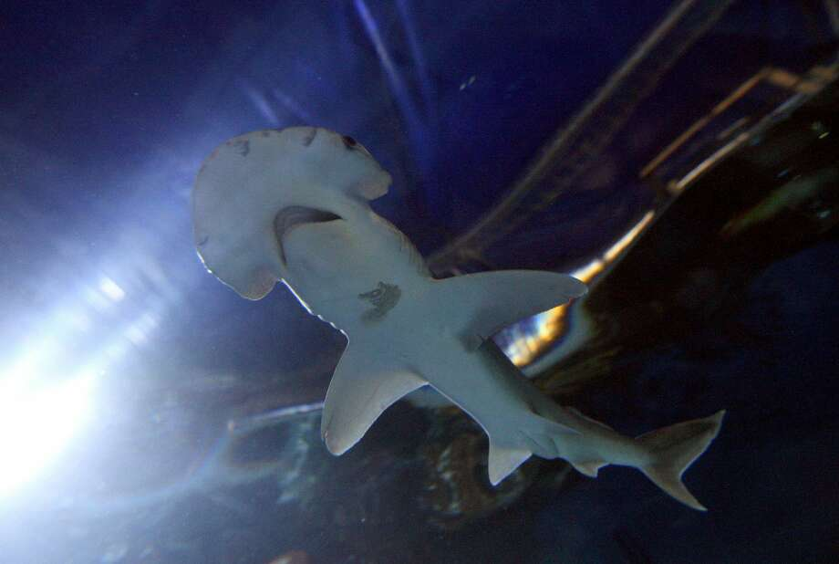 One of a pair of new Bonnethead sharks at Chessington World of Adventures, Surrey.   (Photo by Steve Parsons/PA Images via Getty Images) Photo: Steve Parsons - PA Images/PA Images Via Getty Images