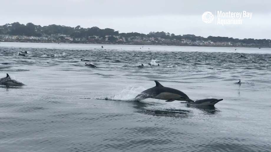 A superpod of dolphins has been hanging out near the Monterey Bay Aquarium. Photo: Monterey Bay Aquarium