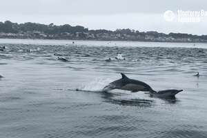 A superpod of dolphins has been hanging out near the Monterey Bay Aquarium.