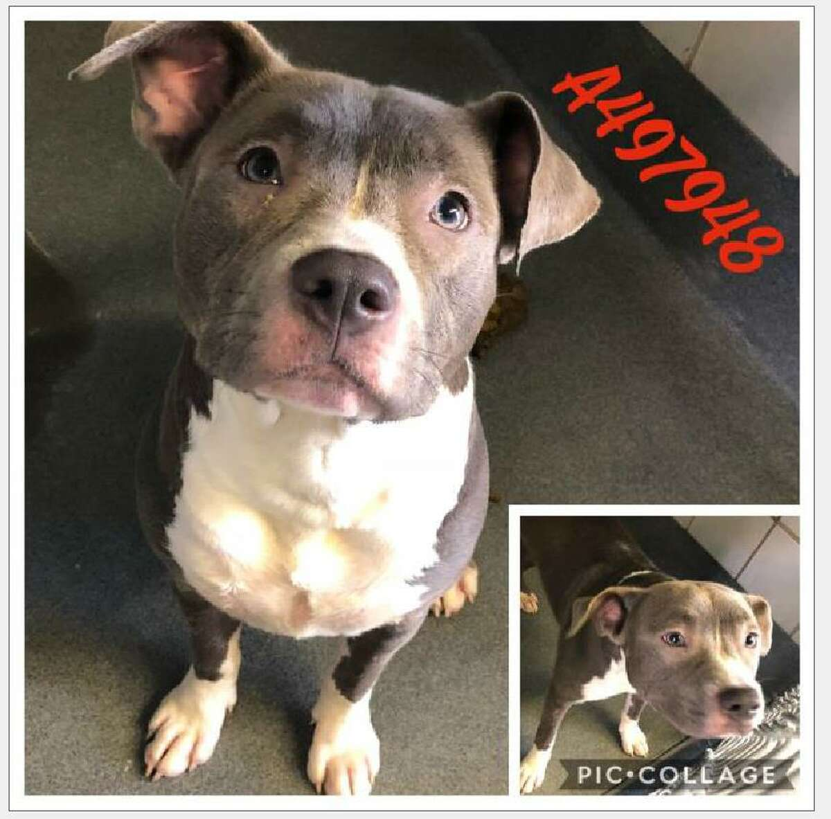A female American Staffordshire Terrier named Pretty was taken from an Animal Care Services facility Sept. 6, 2018. The man who took Pretty was captured on security camera footage removing her from the kennel about 2 p.m. at the ACS facility, 4710 Texas 151.