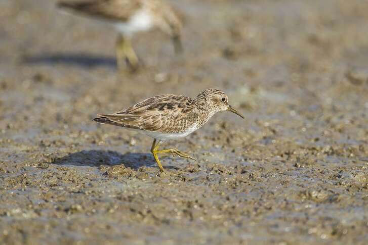Least sandpipers signal the coming of autumn in Texas. They occupy seashores, lakeshores, flooded rice fields, shallow ponds, and muddy fields. Photo Credit: Kathy Adams Clark. Restricted use.