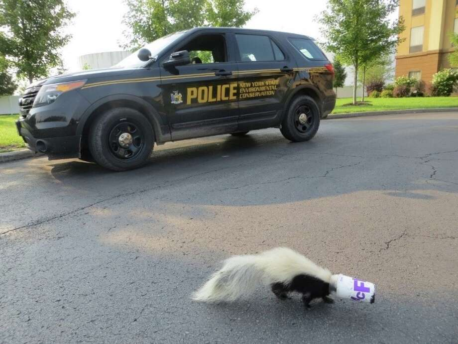 A state Environmental Conservation Officer in Utica removed an ice cream cup from a young skunk's head on Aug. 24, 2018. (NYS DEC) Photo: NYS DEC