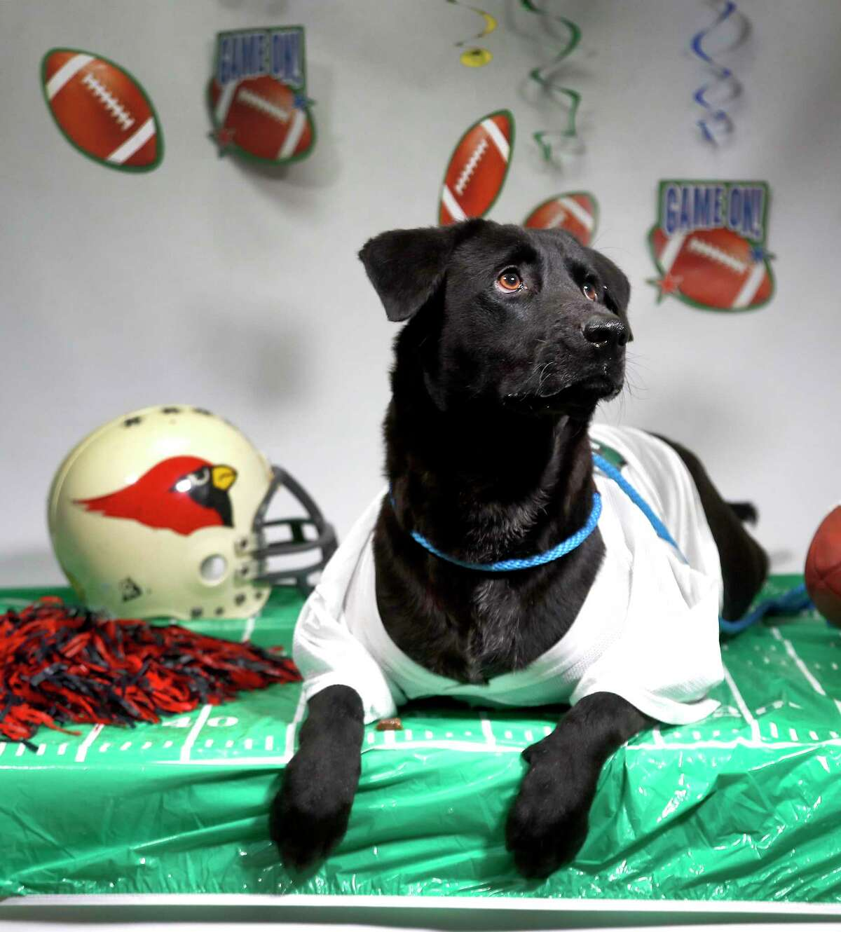 JULES (Animal ID: 364527) A 2-year-old, spayed female, black/brown Labrador Retriever Mix is available for adoption ($75 fee) from the Houston SPCA. Photographed Thursday, September 6, 2018, in Houston.