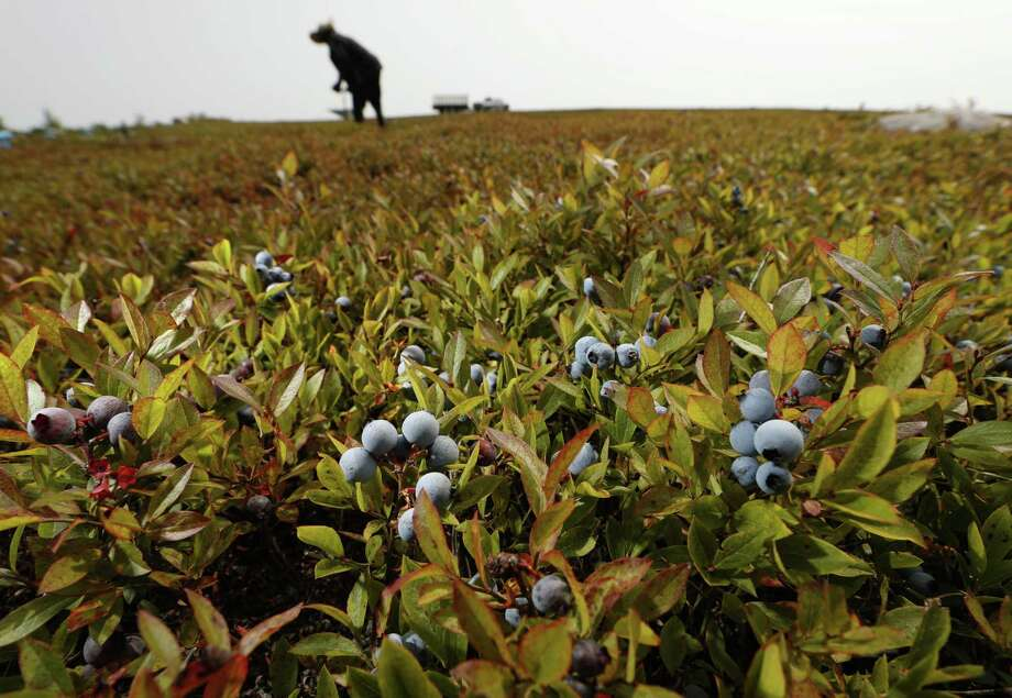 In this Friday, Aug. 24, 2018, photo, a worker rakes wild blueberries at a farm in Union, Maine. Unlike cultivated blueberries, which are grown in states such as New Jersey and Washington, wild blueberry fields contain different varieties, which results in different sizes and colors. Nearly 100 percent of the crop is frozen, and they are used in a host of frozen and processed foods. Photo: Robert F. Bukaty /Associated Press / Copyright 2018 The Associated Press. All rights reserved.