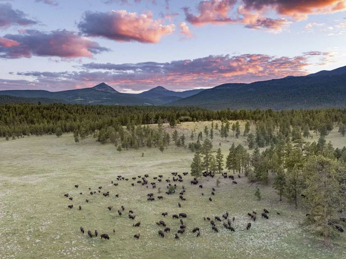 Bison and cattle roam Vermejo Park Ranch.