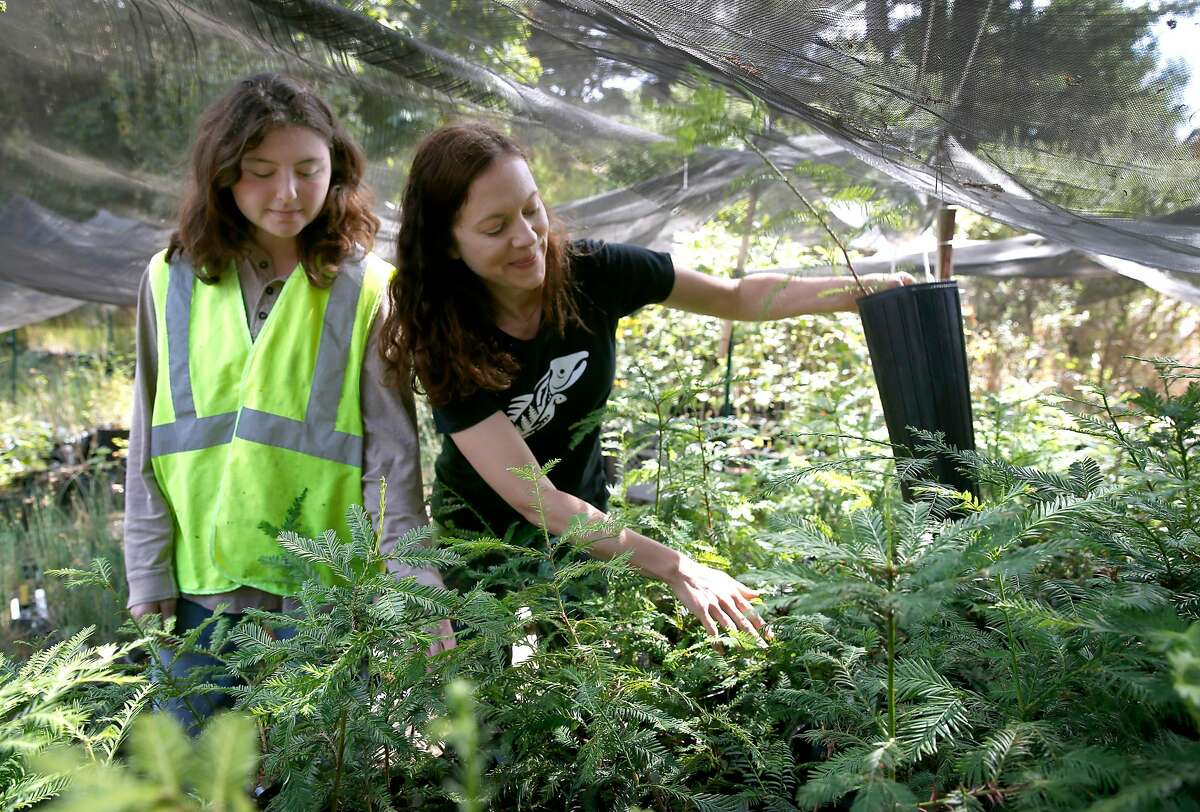Skylar Lipman (left) and Audrey Fusco tend to redwood seedlings and other native plants that will be planted when construction of a manmade flood plain channel along Lagunitas Creek is completed in Olema, Calif. on Wednesday, Sept. 5, 2018. The project removes more than 13,000 cubic yards of dirt and abandoned buildings creating side channels along a one-mile stretch of the creek that will become a refuge for young trout and salmon.