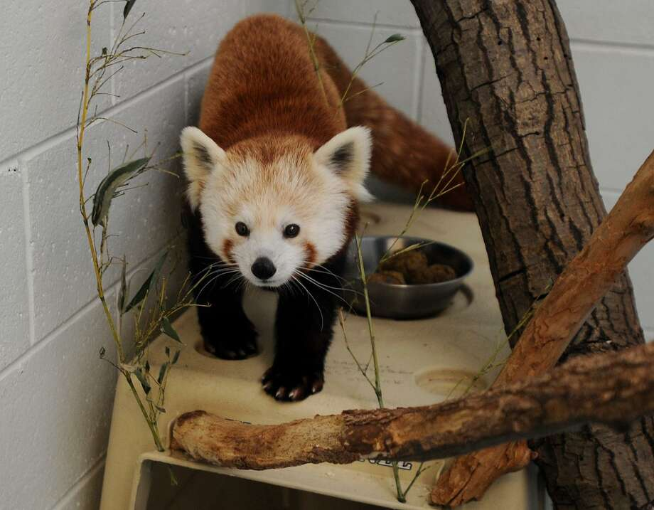 Female red panda Meri waits to be united with resident male Rochan for breeding at the Beardsley Zoo in Bridgeport, Conn. on Tuesday, February 13, 2018. Visitors to the zoo can catch a glimspe of Meri and Rochan — and see the new habitat being built for them — on International Red Panda Day, Sept. 15 2018. Photo: Brian A. Pounds / Hearst Connecticut Media / Connecticut Post