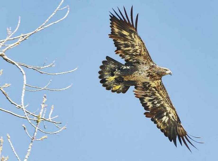 An immature bald eagle, who does not yet have his full head of white feathers, stretches his wings last month in the Lincoln-Shields Recreation Area in West Alton, Missouri. Photo: Telegraph File Photo